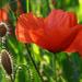 Vadvirágok Pipacsok Fűszálak