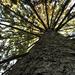 Égigérő fenyőfa