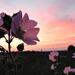Hajnali fény Rét Virág / Mezei mályva ( (Malva)
