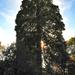 Az óriás mamutfenyő (Sequoiadendron giganteum)