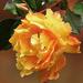 Rózsa Ősz Virág