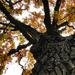 A tölgyfa (Quercus)