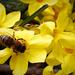 Méhecske Téli jázmin Sárga