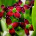 Tarka levelű japán babérsom icipici virágai (Aucuba japonica 'Va