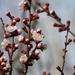 Tavasz Virág Sárgabarackfa