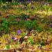 Botanikus kert Tavasz Az ibolya (Viola)