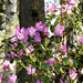 Rhododendron dauricum L. - tauruszi havasszépe