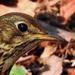 Az énekes rigó arckép (Turdus philomelos)