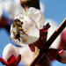 Tavasz Virág Sárgabarackfa Méhecske