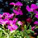 Virágok Pázsitviola (Aubrieta x cultorum)