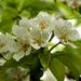 Körtefa virágzás