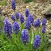Fürtös gyöngyike virág (Muscari neglectum)