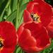 A tulipánok (Tulipa)