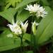 Medvehagyma virágai (Allium ursinum)