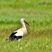 Vadászó Fehér gólya (Ciconia ciconia)
