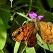 Vörös szemeslepke (Lasiommata megera)