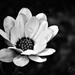 Virág Feketén Fehéren