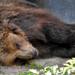 Álmosan/ A barna medve (Ursus arctos)