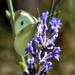 Káposztalepke (Pieris brassicae)