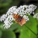Pillangó Alpok Nyár