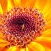Az orvosi körömvirág (Calendula officinalis)
