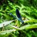 A sávos szitakötő (Calopteryx splendens)