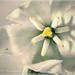 Virág Jukka (Yucca filamentosa)