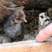 Két kis törpe született /Törpetyúk csibék