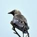A csóka növendék (Corvus monedula)
