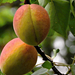 Sárgabarack Éretlen Gyümölcs