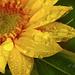 Napraforgó Esőcseppek Nyár