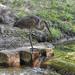 Patak A szürke gém (Ardea cinerea) Nyár