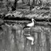 Tükörben /A fehér gólya (Ciconia ciconia)
