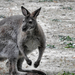 A kengurufélék (Macropodidae)