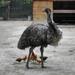 Madarak Az emu (Dromaius novaehollandiae) Tyúkok