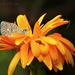Szerecsenbolglárka (Aricia agestis)