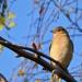 Madár Ősz Az erdei pinty (Fringilla coelebs)