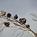 Seregélyek (Sturnus vulgaris) Ősz