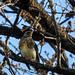 A fenyőrigók (Turdus pilaris)