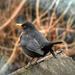 A fekete rigó (Turdus merula)