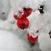 Piros bogyók Tél Hó