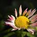 Százszorszép Virág Tavasz