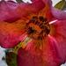 A pirosló hunyor (Helleborus purpurascens)