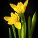 A nárcisz (Narcissus)