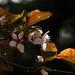 Vérszilvafa Virág Tavasz