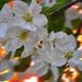 Almafa virág Naplemente