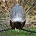 A kék páva vagy indiai páva hátulról (Pavo cristatus)