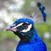 A kék páva vagy indiai páva portré (Pavo cristatus)