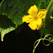 Uborka virág