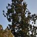 Mamutfenyő - Sequoia